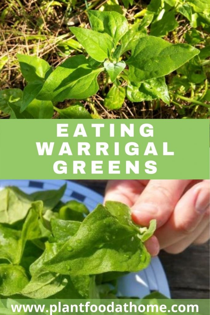 Eating Warrigal Greens - Cooking and Recipe Ideas