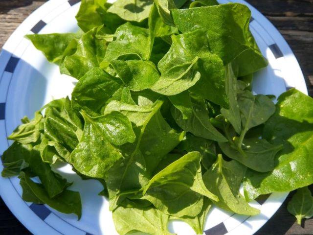 Harvested Warrigal Greens