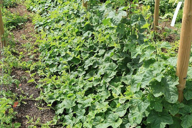 Kiwano Melon Vine - Growing Kiwano Melon and Eating the Fruit