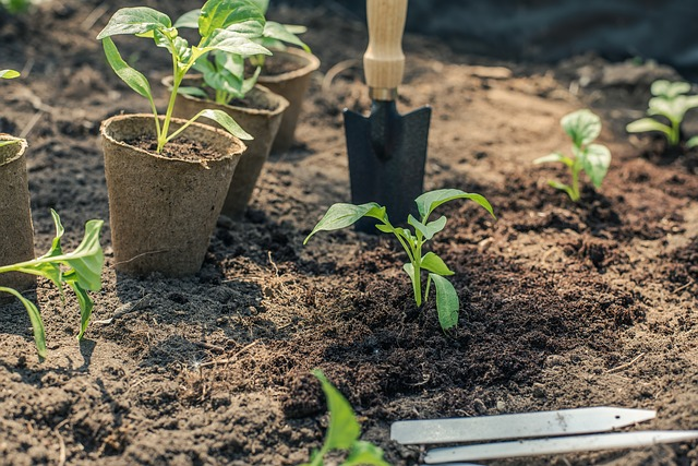 Planting Out Vegetable Seedlings after Growing Under Grow Lights - Pepper
