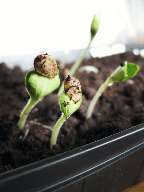 Starting Vegetable Seeds Indoors Under Grow Lights at Home