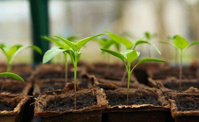 Starting Vegetalbe Seeds Indoors Under Grow Lights - Pepper Seedlings