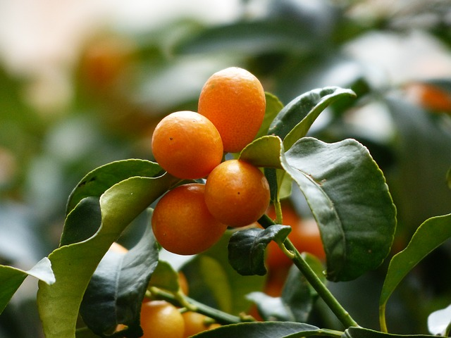 Why is My Kumquat Tree Dropping Fruit (And How To Fix It)