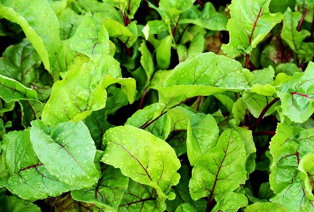 Eating Beet Greens and Recipe Ideas - Leafy Green Beet Tops