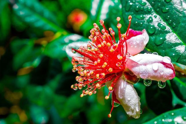Feijoa Pineapple Guava Flower - Eating Feijoa Fruit with Recipe Ideas