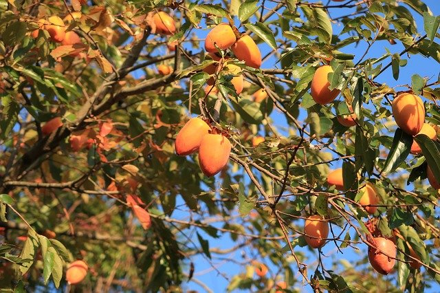 Hachiya Persimmons Growing on a Tree - How to Grow Persimmons