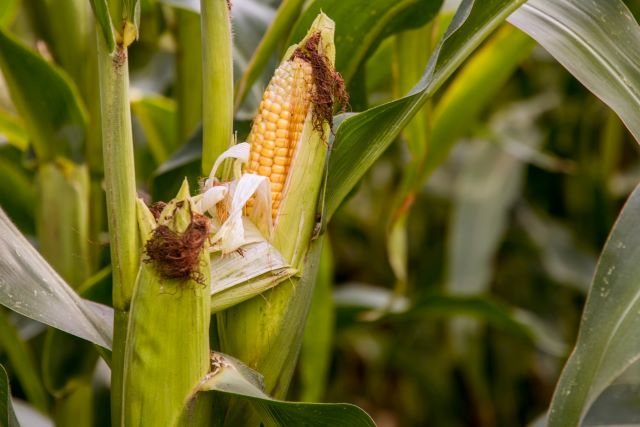 How Many Ears Of Corn Grow On One Stalk - Corn Growing