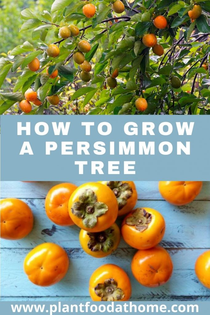 How to Grow a Persimmon Tree