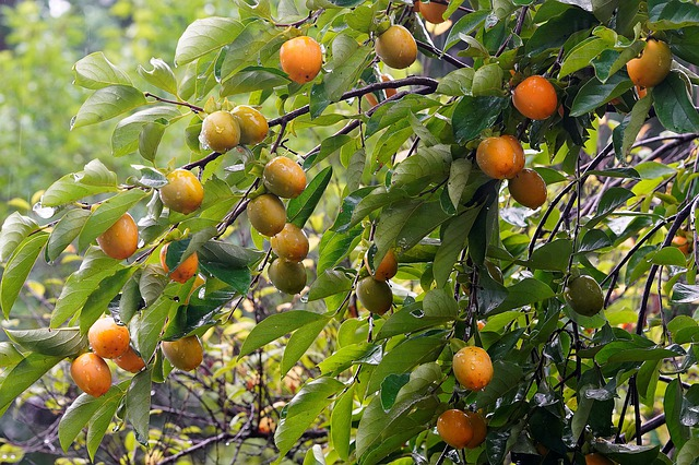 How to Grow a Persimmon Tree for Delicious Persimmon Fruit