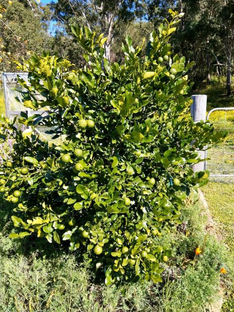 Kaffir Lime Uses in the Kitchen and Home - Kaffir Lime Tree