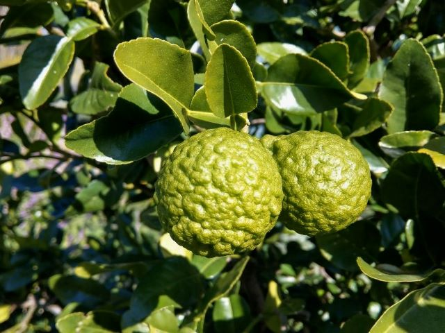 Kaffir Lime Uses in the Kitchen and Home - Kaffir Lime Fruit