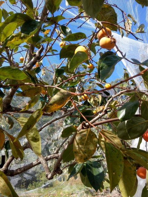 Persimmon Tree Under Netting to Protect from Pests - How to Grow a Persimmon Tree