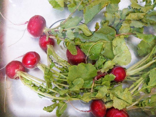 Washing Radishes for Quick Pickled Radish Recipe