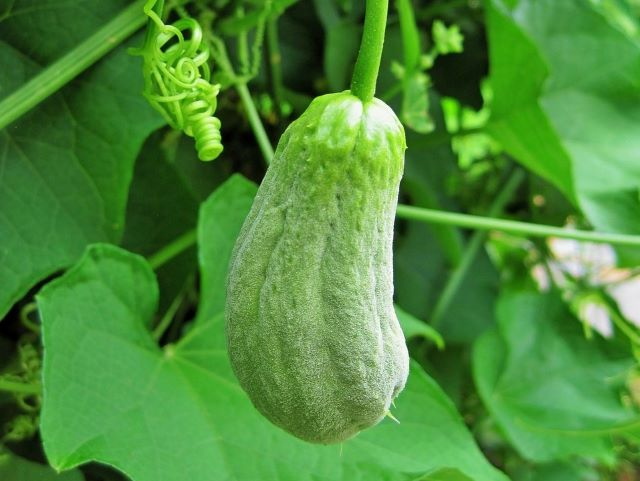 How to Eat Chayote with Recipe Ideas - Chayote Squash Growing on the Vine