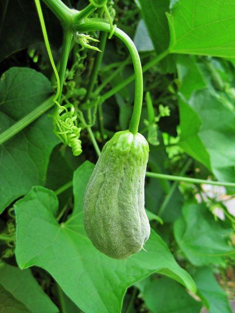 How to Grow Chayote Squash Choko - Chayote Growing on the Vine