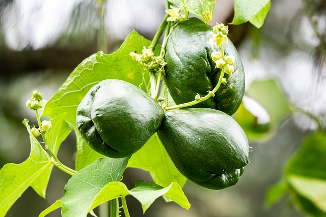 How to Grow Chayote Squash Choko - Choko Growing on the Vine