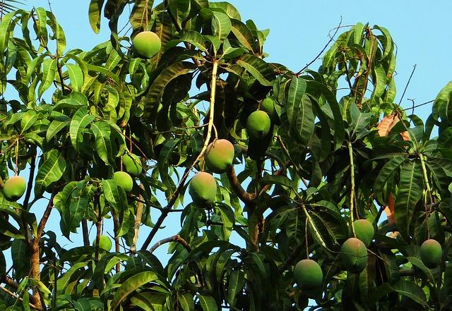 How to Grow a Mango Tree - Fruiting Mango Tree
