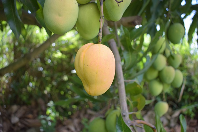 How to Grow a Mango Tree - Planting, Caring and Harvesting Mangoes
