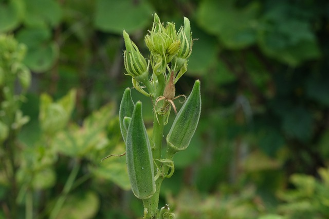 Okra Growing on the Plant - How to Grow Okra