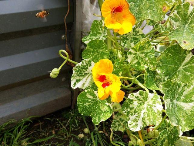 Bees love Nasturtium - How to Grow Nasturtium